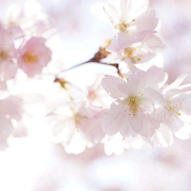 https://pavlinajirouskova.com/wp-content/uploads/2021/01/cherry-blossoms-4098778_1920-1-640x640.jpg