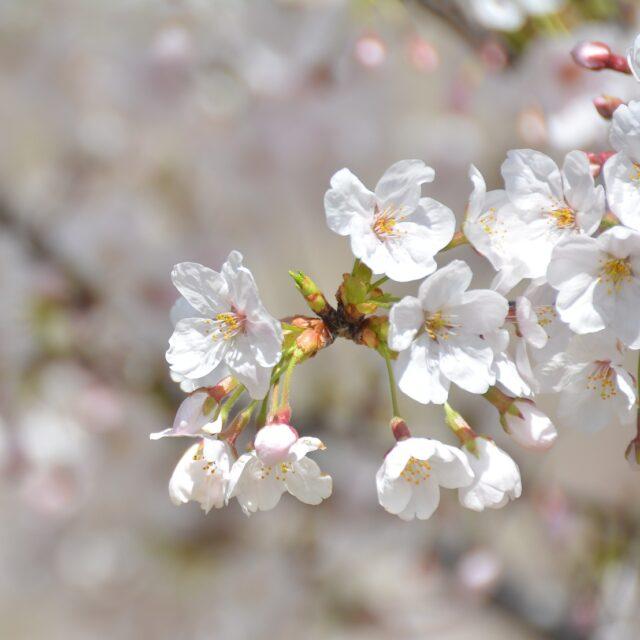 https://pavlinajirouskova.com/wp-content/uploads/2021/04/cherry-blossoms-818396_1920-e1618824000662-640x640.jpg